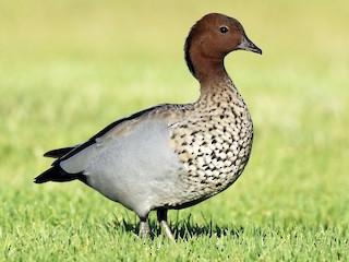 - Maned Duck
