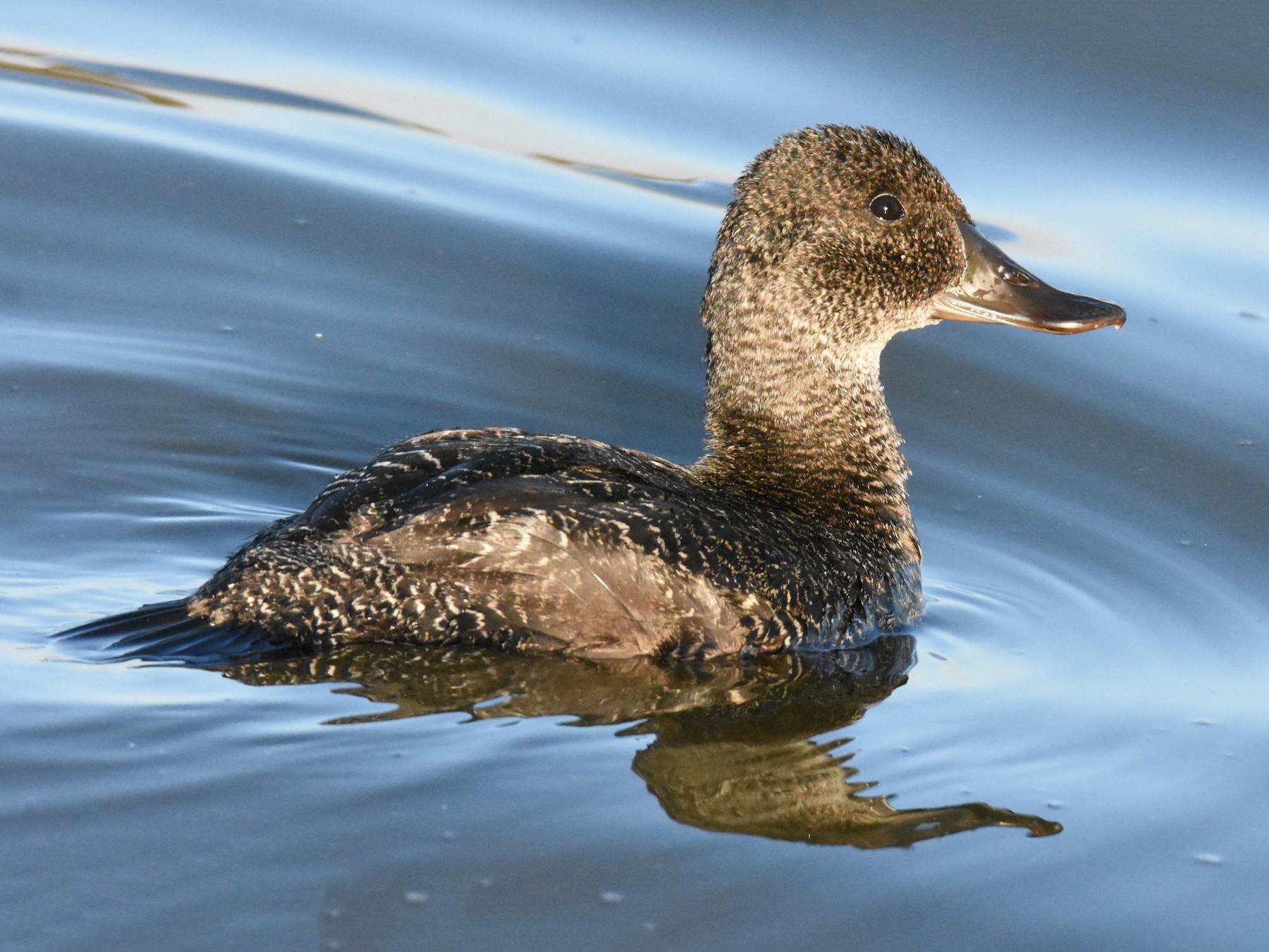 Blue-billed Duck - Geoffrey Groom