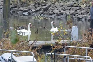 Mute Swan, ML121515301