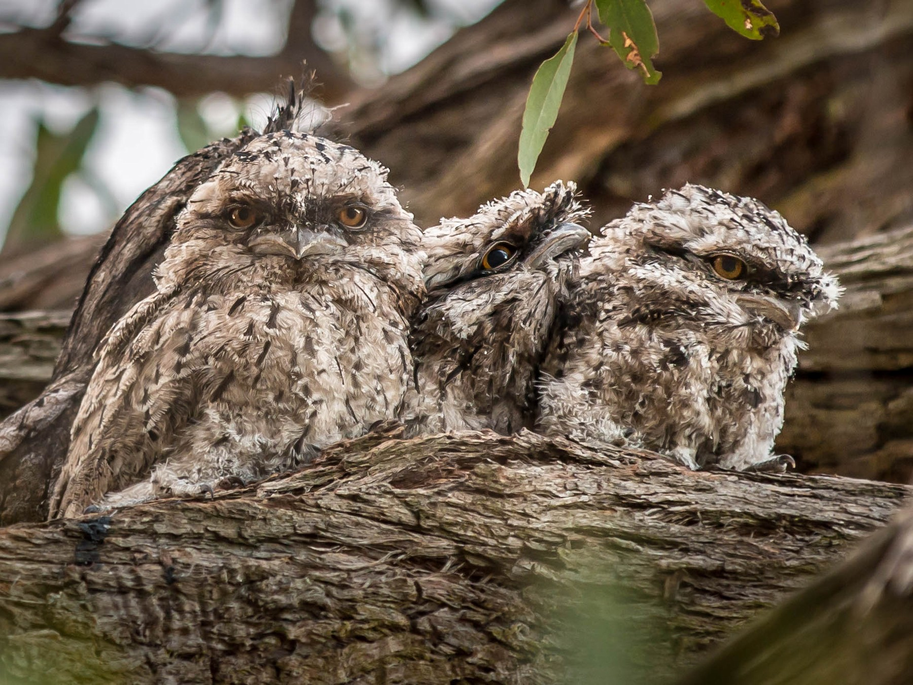 Tawny Frogmouth - Jan Clewett
