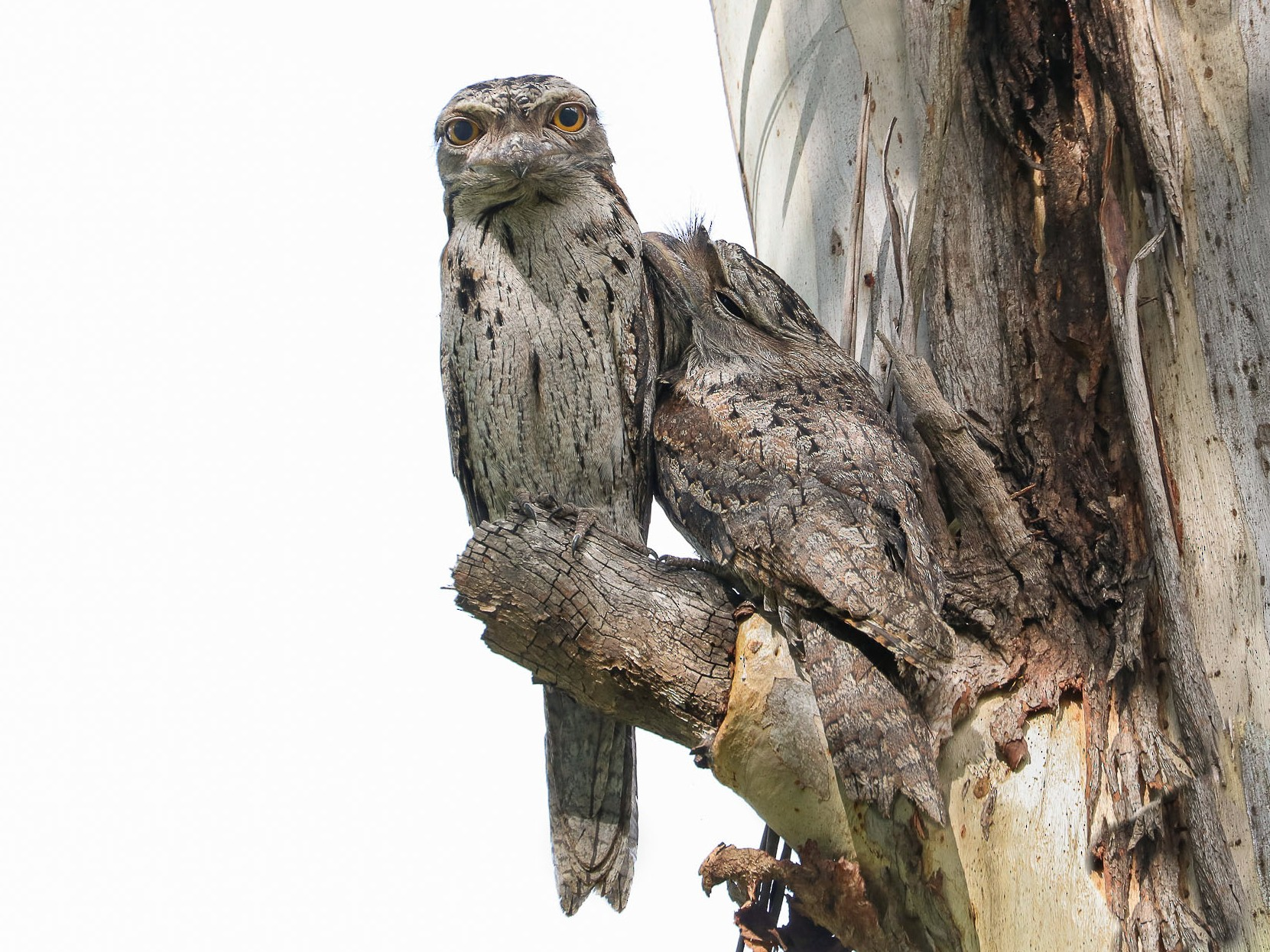 Tawny Frogmouth - Ged Tranter