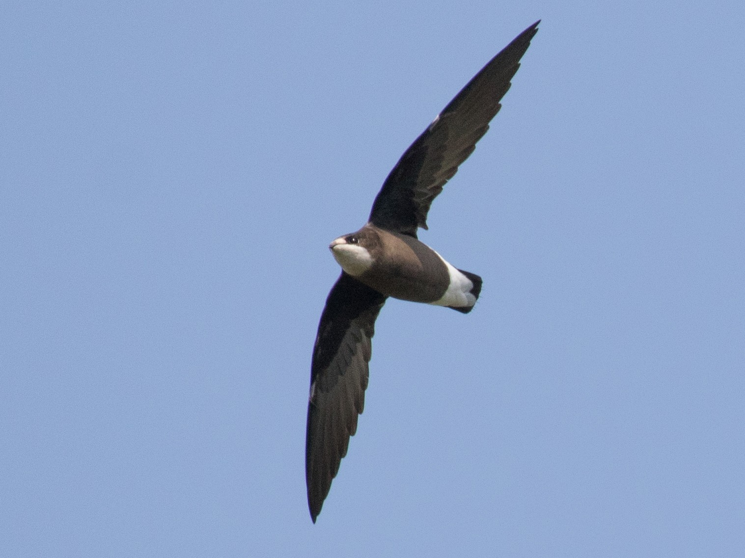 White-throated Needletail - shorty w