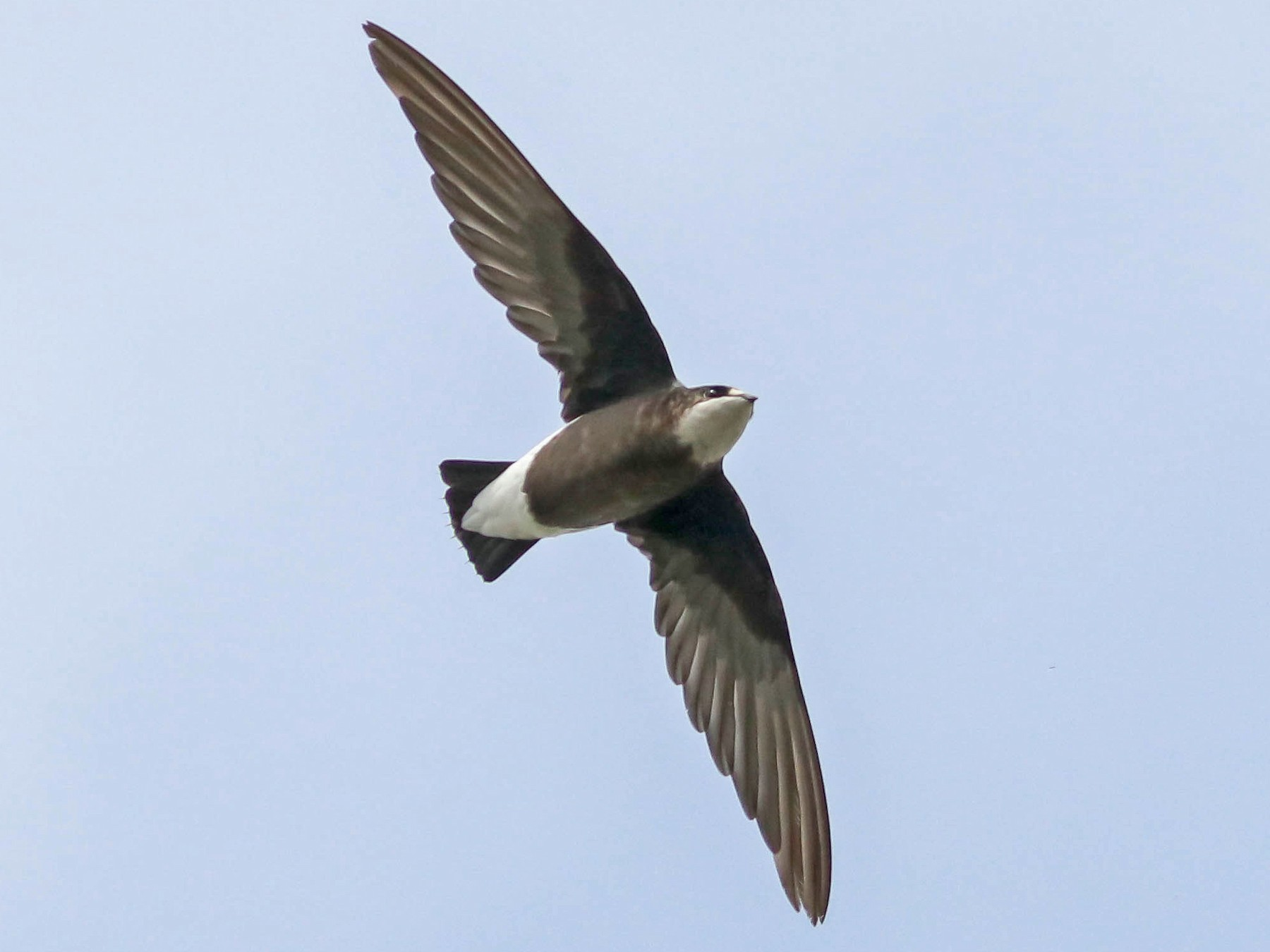 White-throated Needletail - Ged Tranter