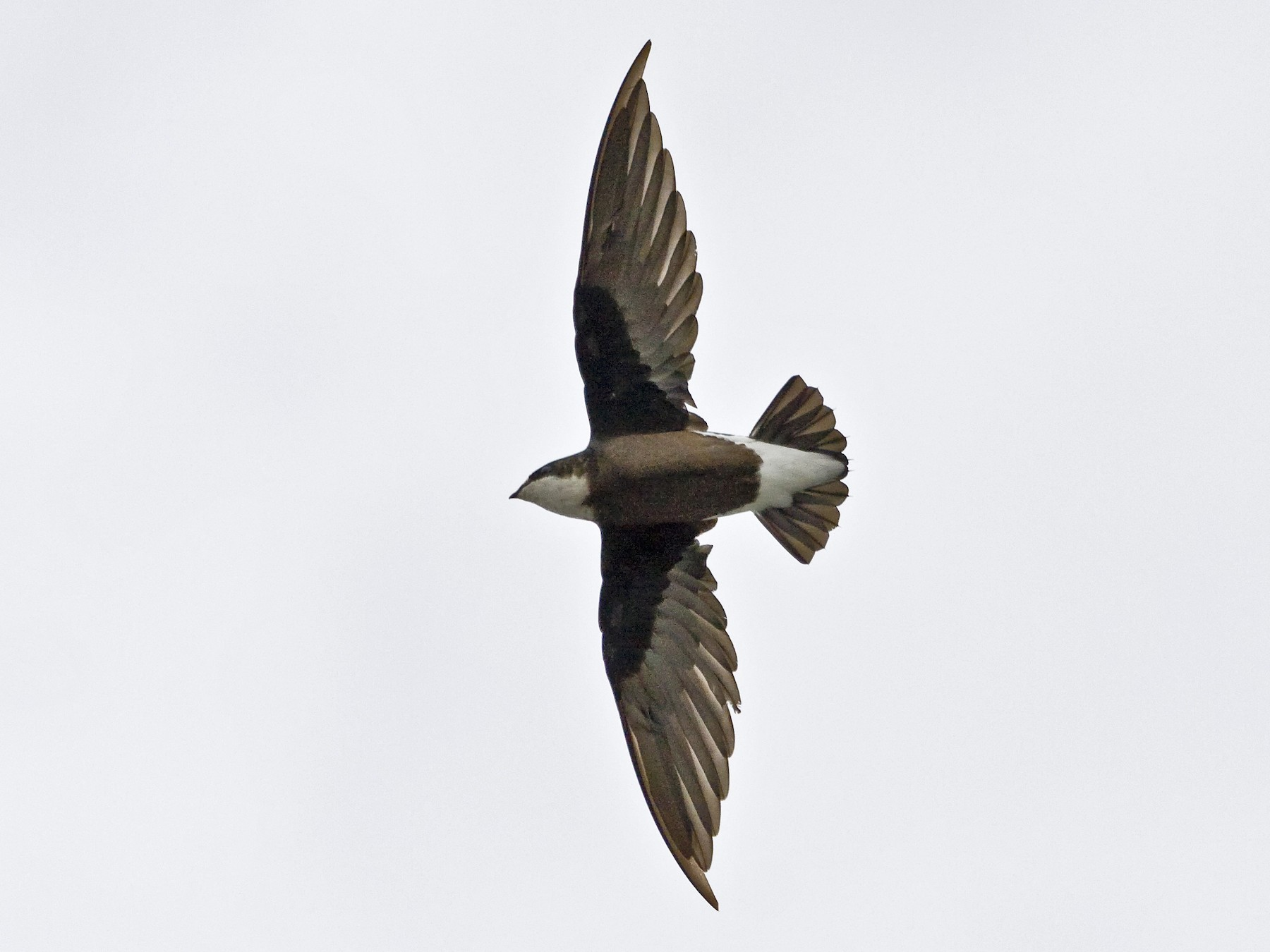 White-throated Needletail - Mat Gilfedder
