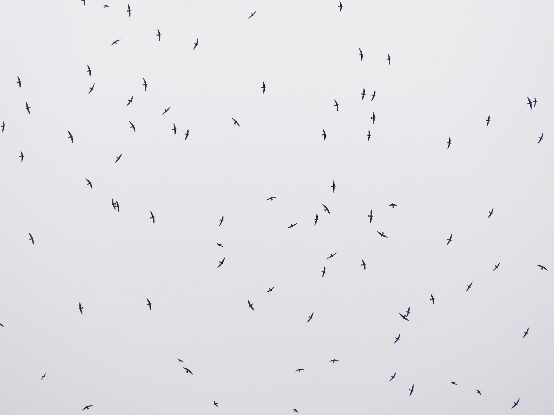 White-throated Needletail - Jenny Stiles