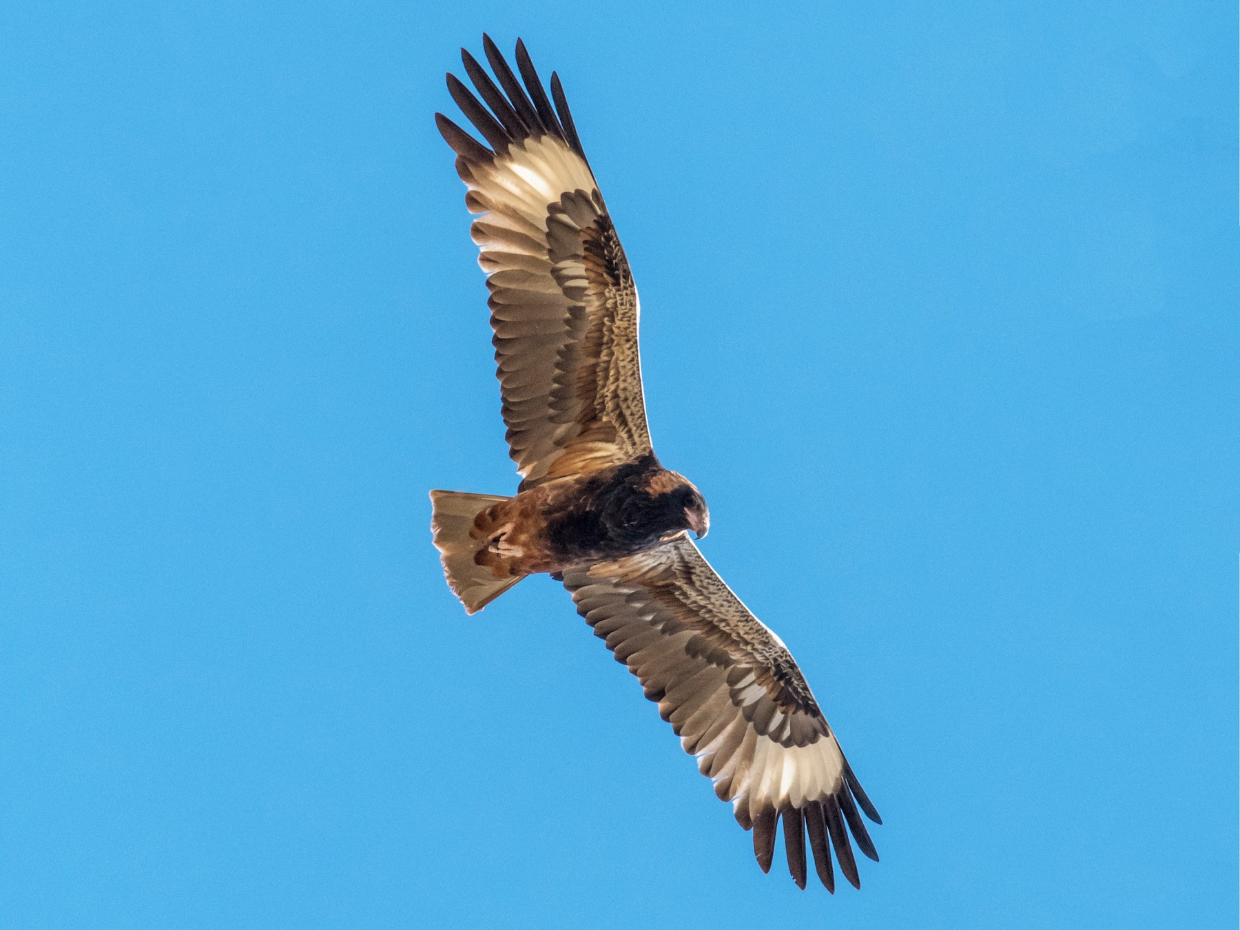 Black-breasted Kite - Raphaël Nussbaumer