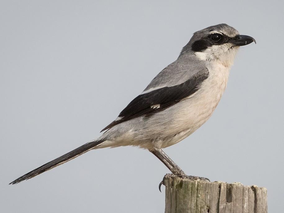 Iberian Gray Shrike - Adelia Hellweger
