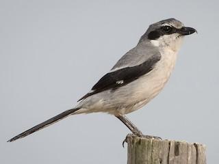 - Iberian Gray Shrike