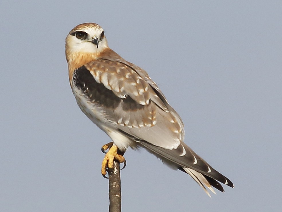 Black-shouldered Kite - Michael Rutkowski