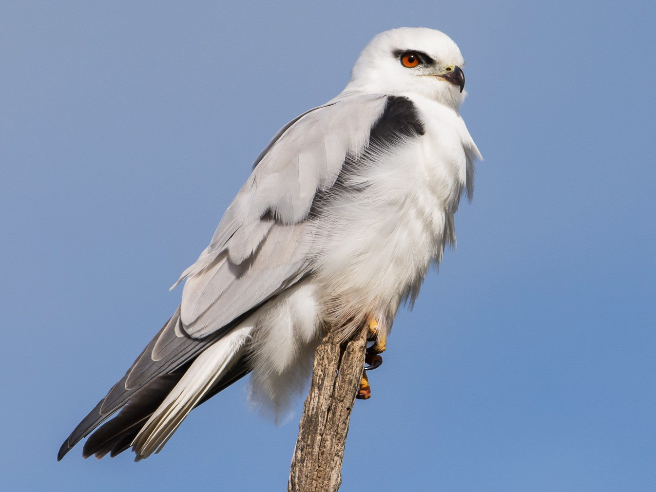 Black-shouldered Kite - John  Van Doorn