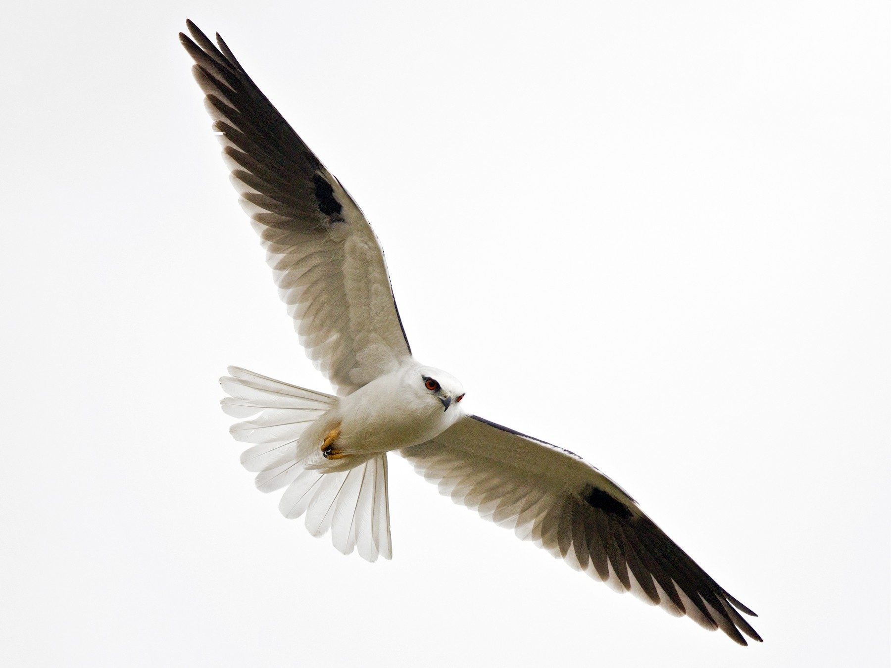 Black-shouldered Kite - Mat Gilfedder