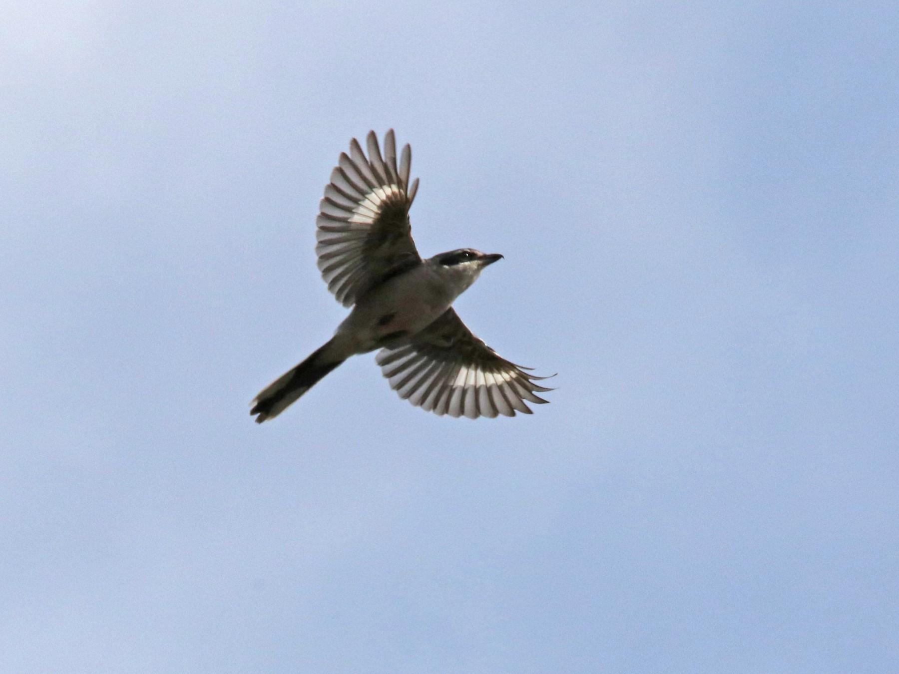 Iberian Gray Shrike - José Luis Sobrino González