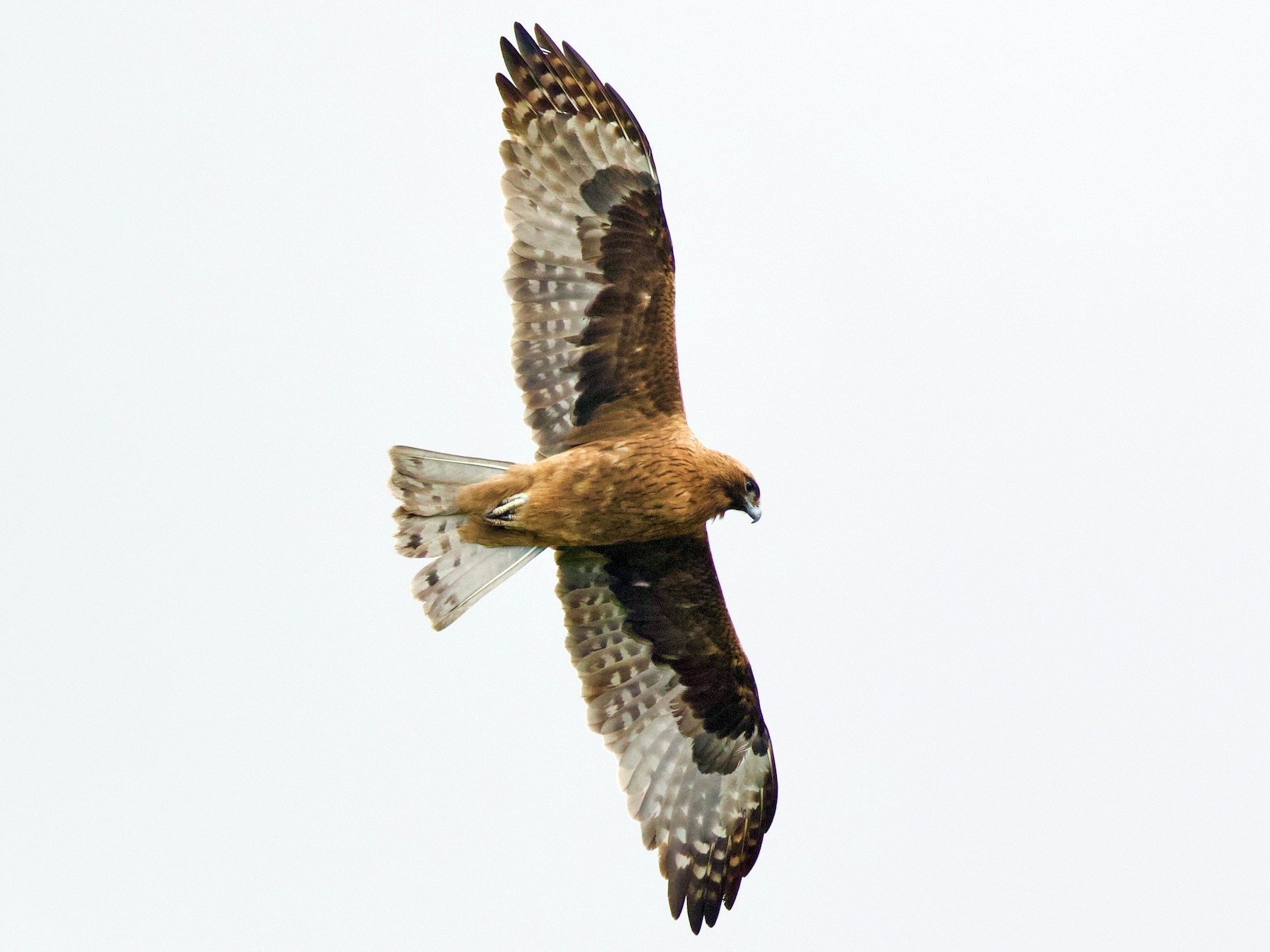 Little Eagle - David  Tytherleigh