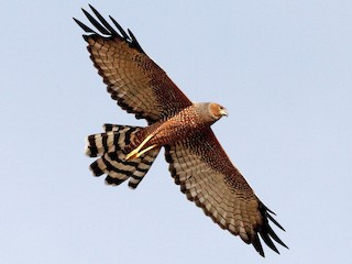 - Spotted Harrier