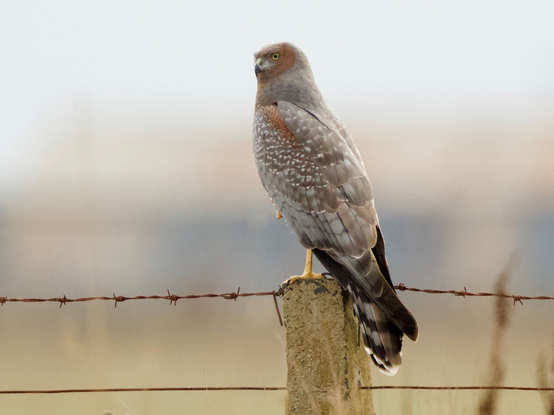 Spotted Harrier - David  Tytherleigh