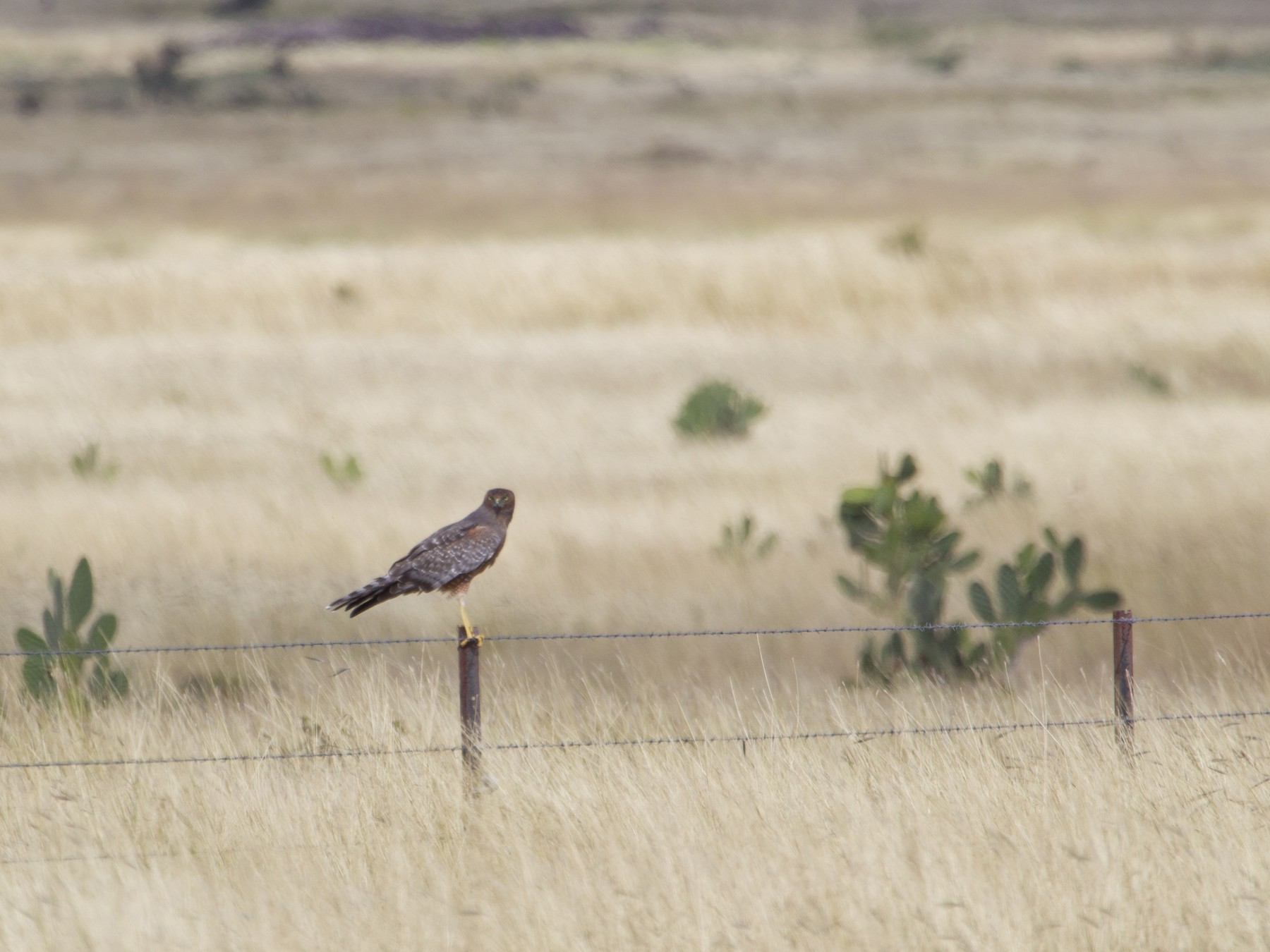Spotted Harrier - Mat Gilfedder