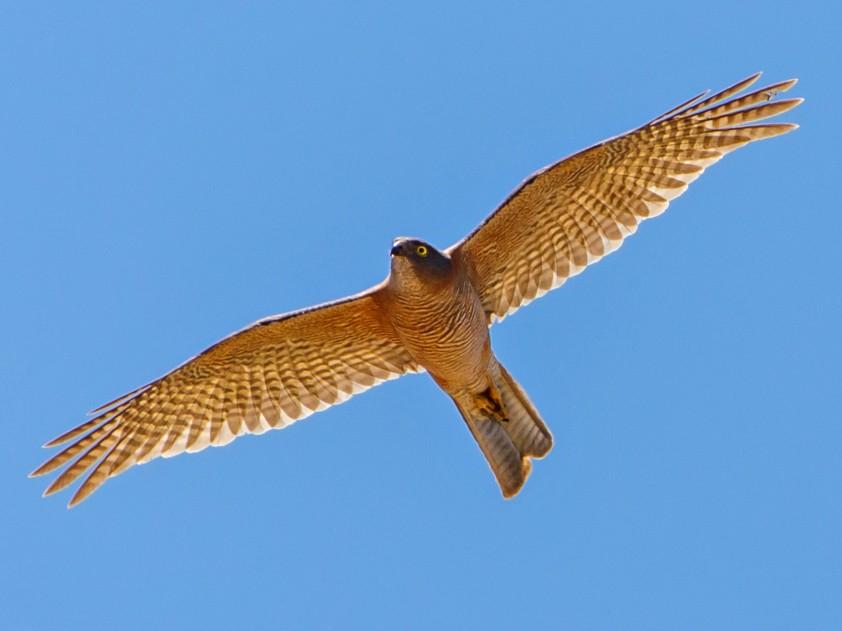 Collared Sparrowhawk - Philip Dubbin