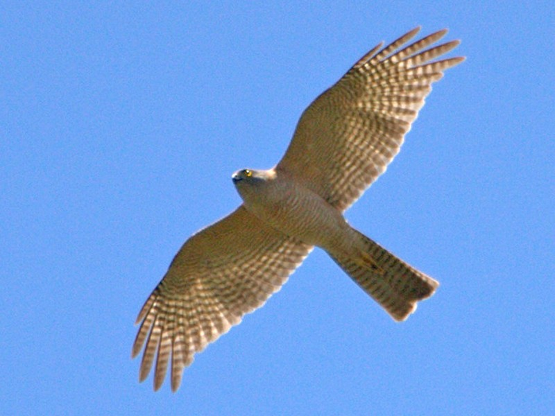 Collared Sparrowhawk - Mat Gilfedder