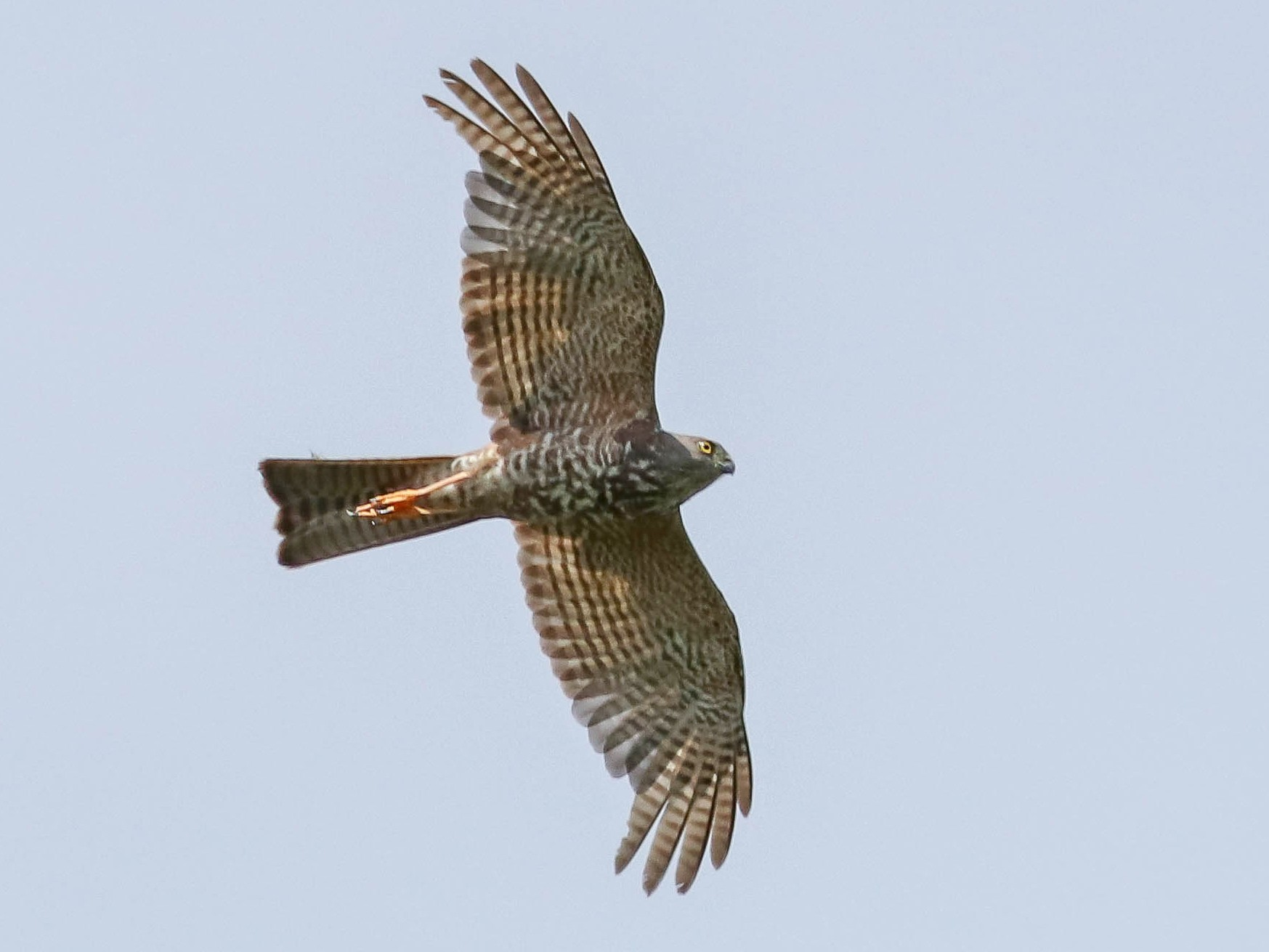 Collared Sparrowhawk - Ged Tranter