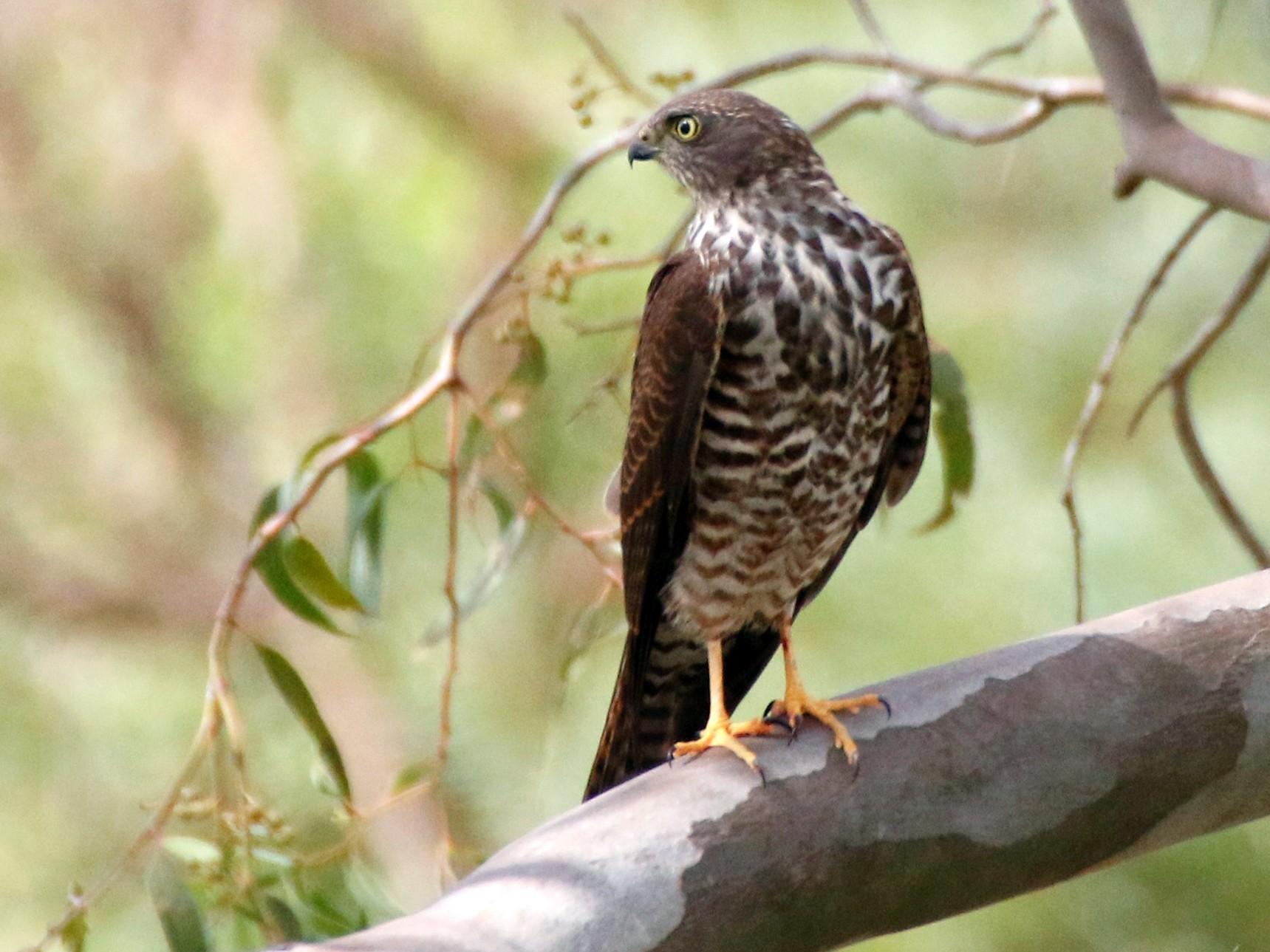 Collared Sparrowhawk - Matt McCrae