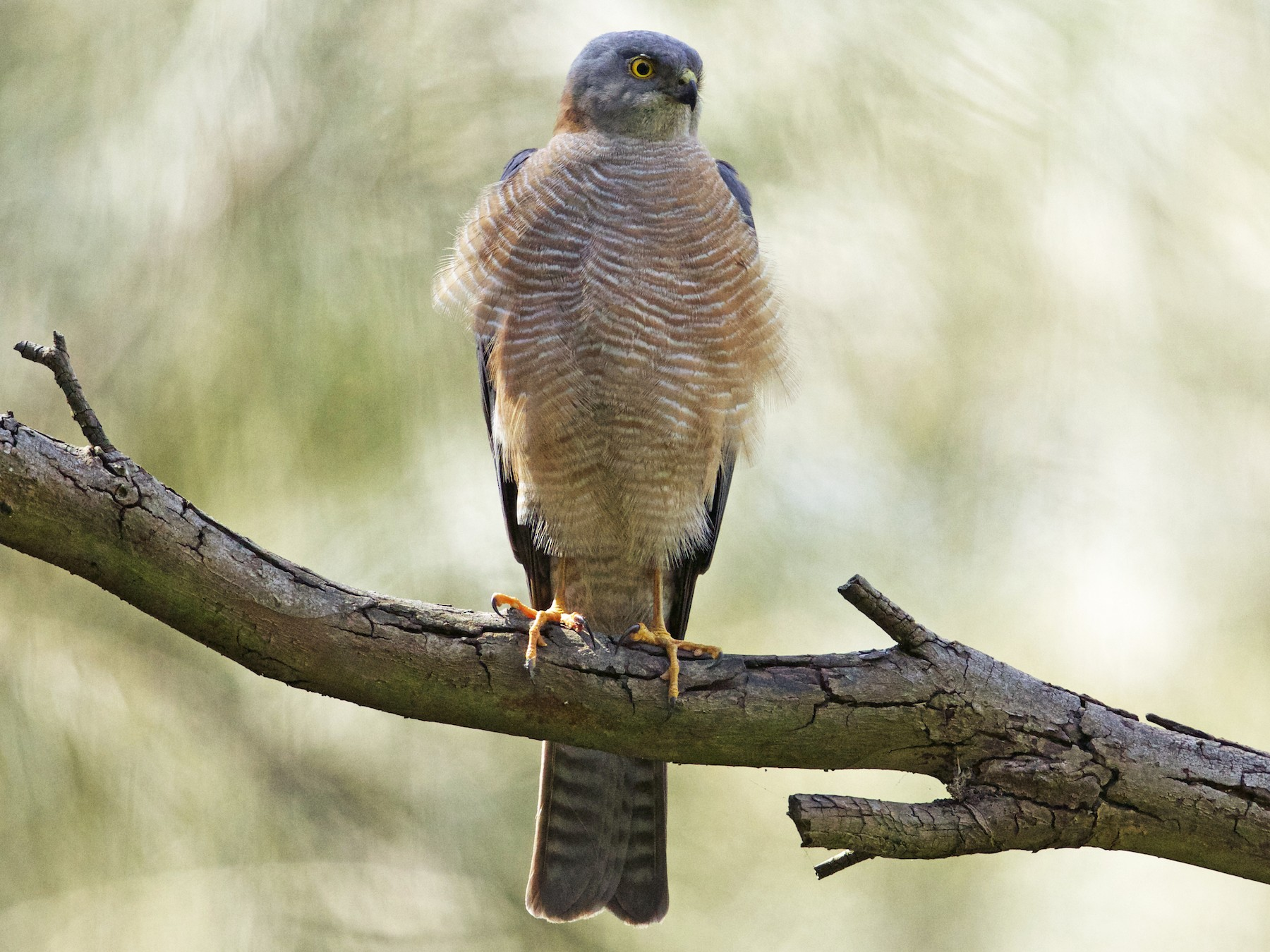 Collared Sparrowhawk - David  Tytherleigh