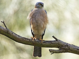 - Collared Sparrowhawk