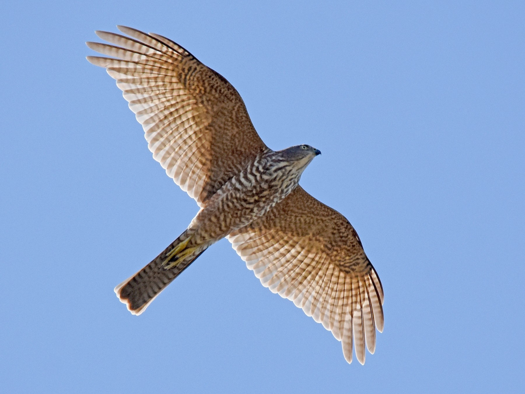 Collared Sparrowhawk - Geoffrey Groom