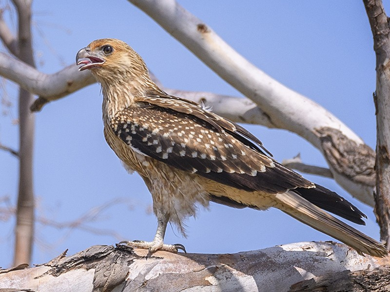 Whistling Kite - Chris Burns