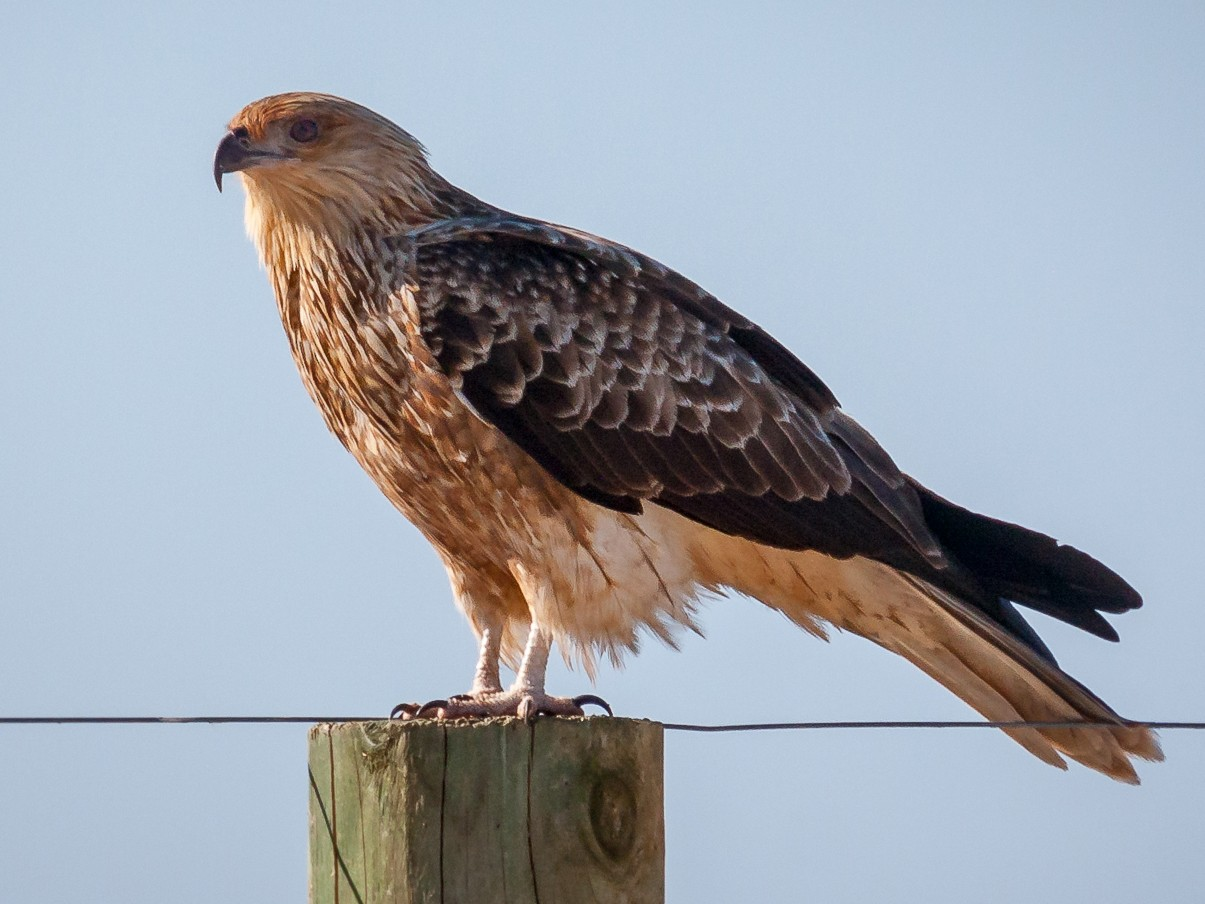 Whistling Kite - Luke Shelley