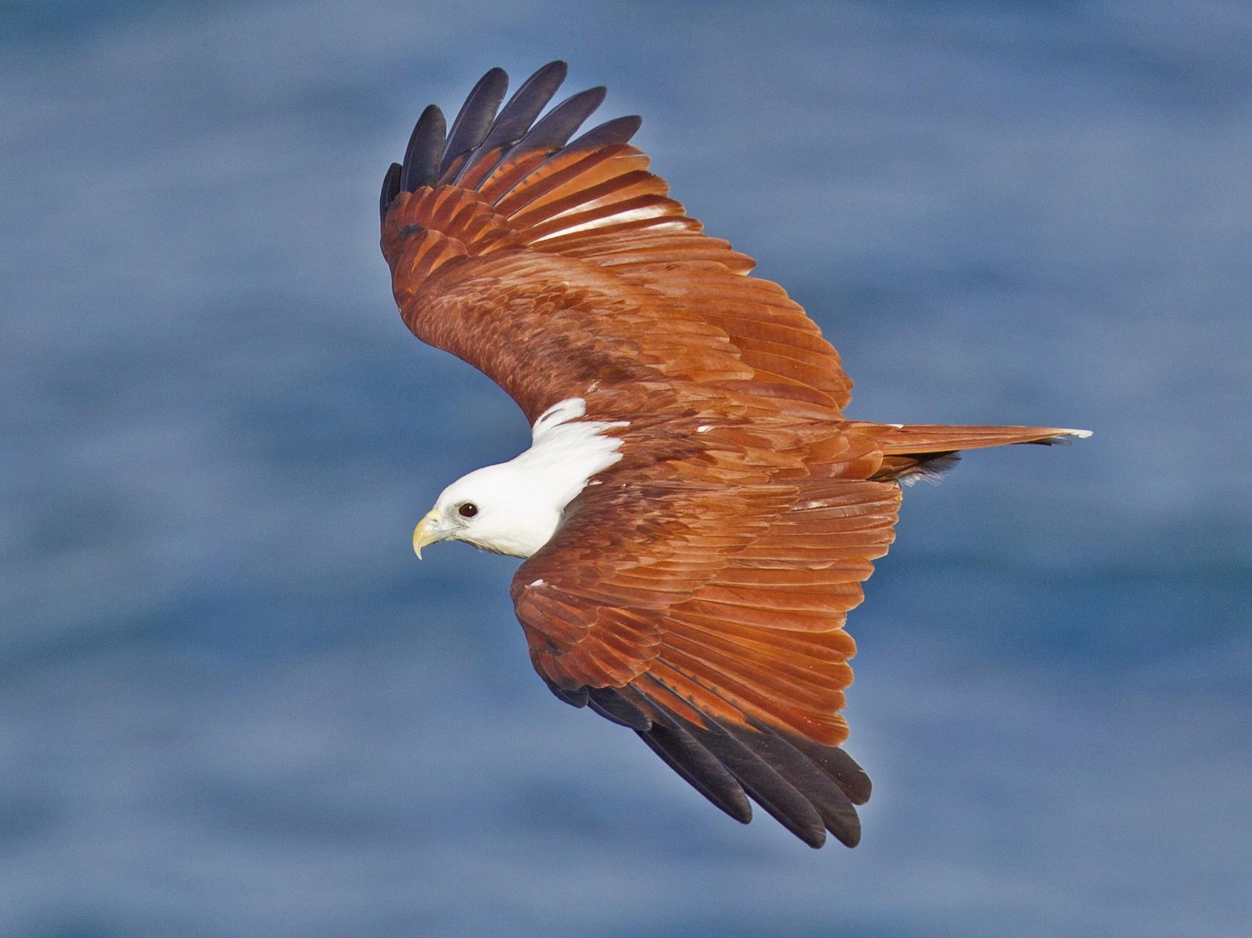 Brahminy Kite - Mat Gilfedder