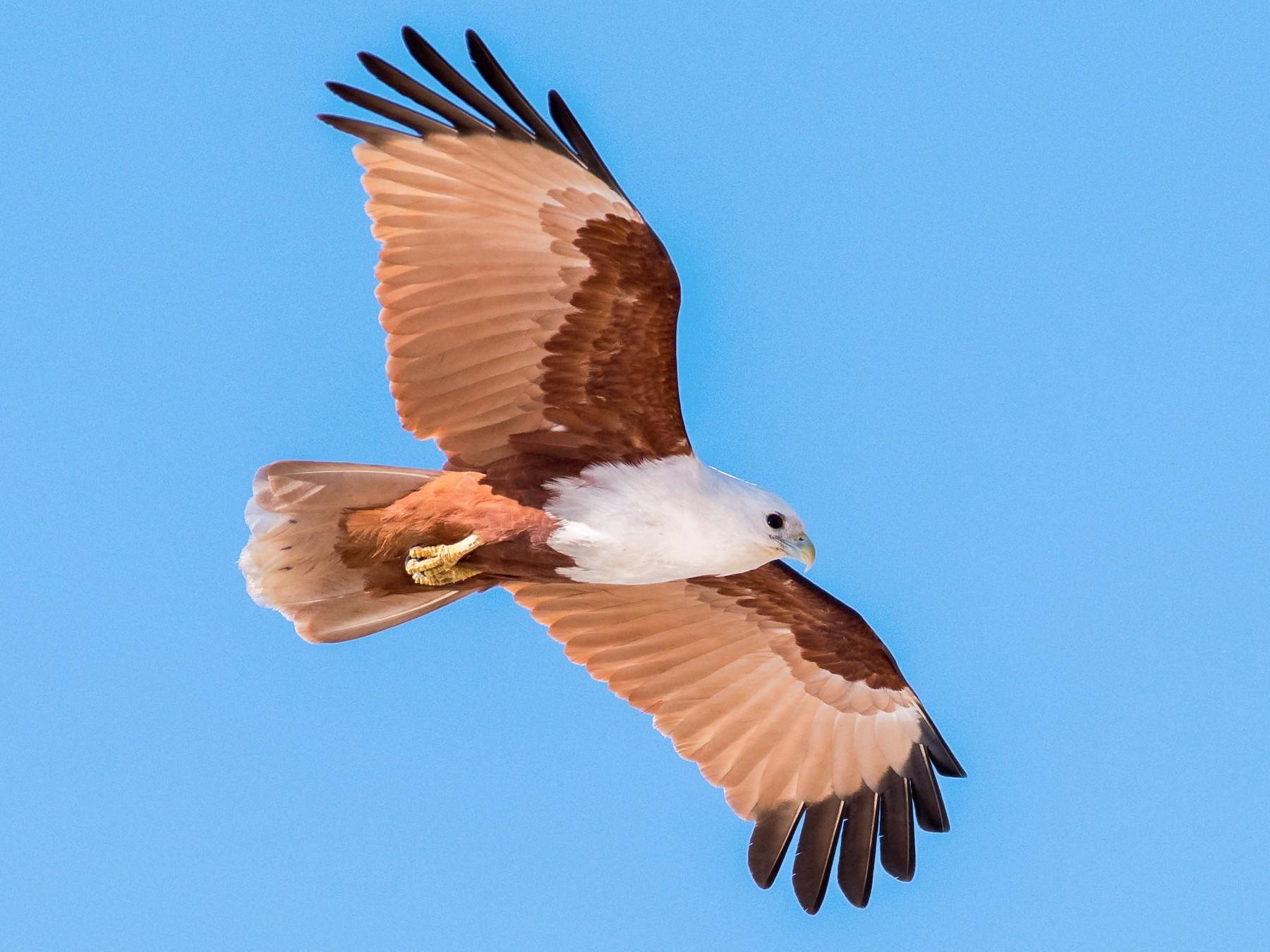 Brahminy Kite - Peter Taylor