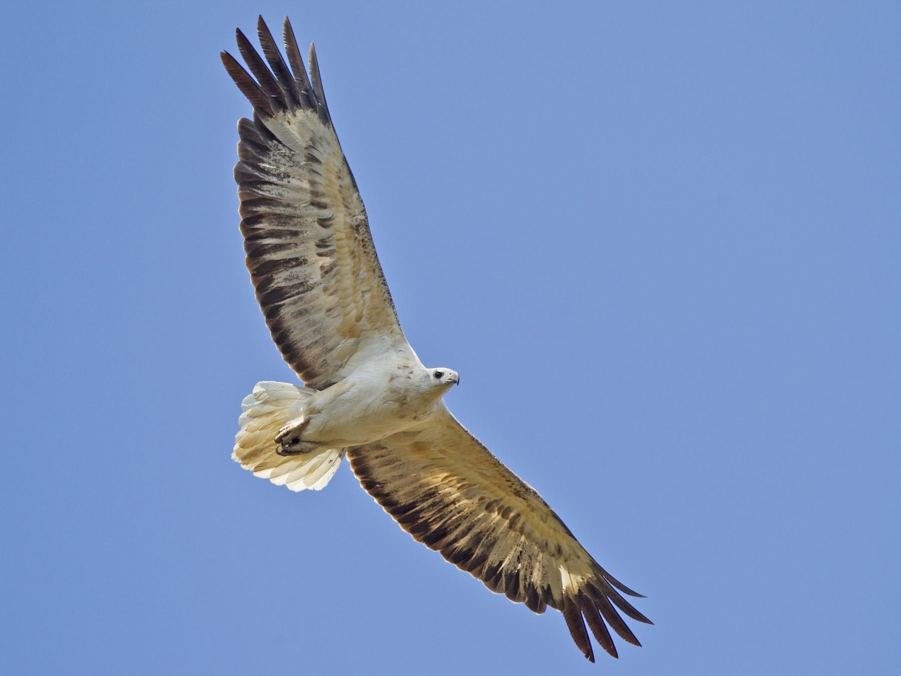 White-bellied Sea-Eagle - Mat Gilfedder