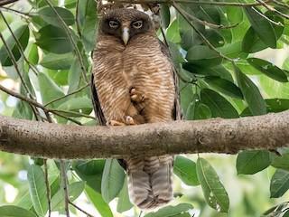 - Rufous Owl