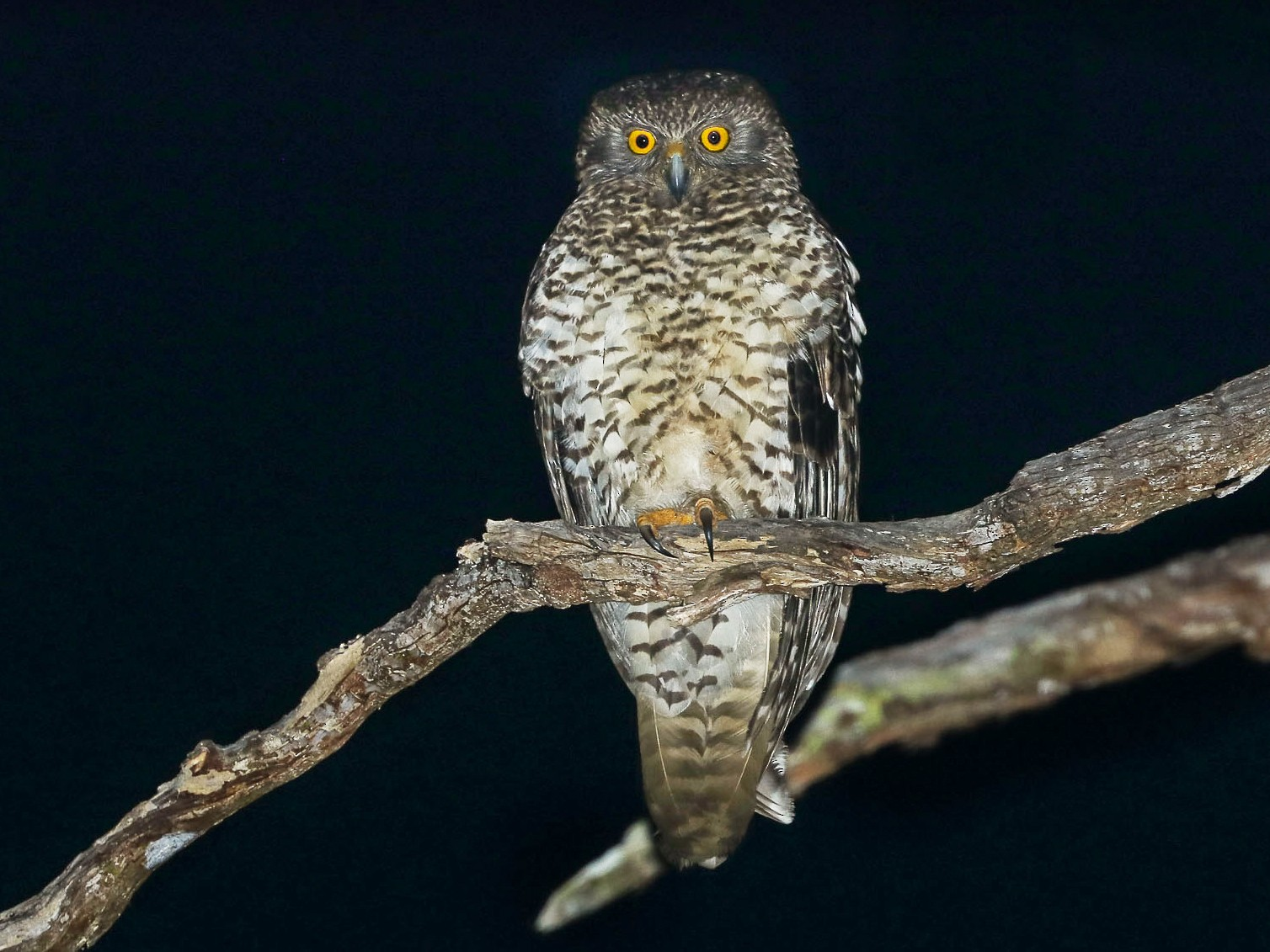 Powerful Owl - Ged Tranter