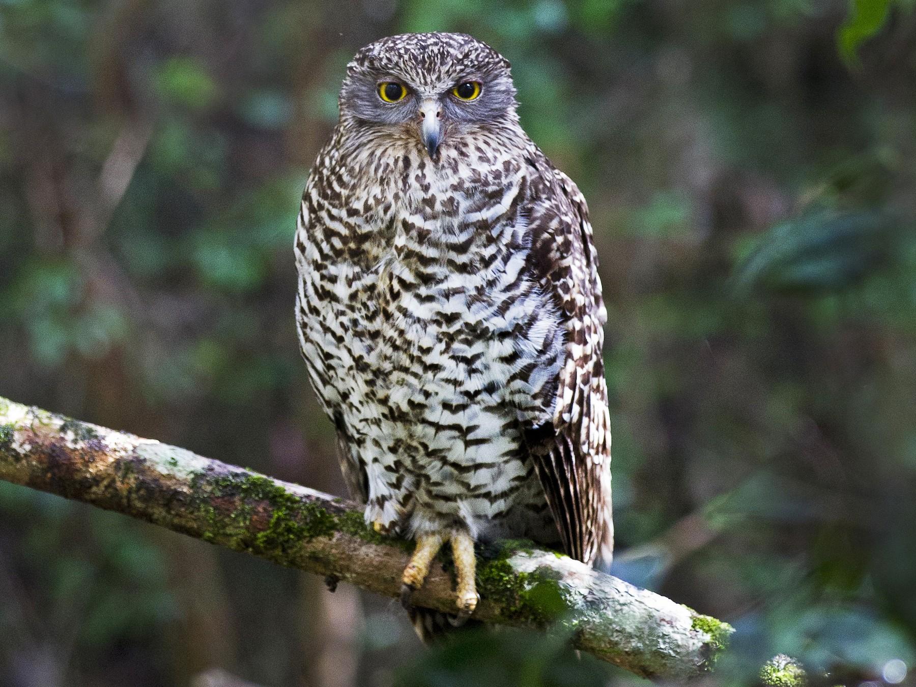 Powerful Owl - Mat Gilfedder