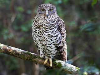 - Powerful Owl