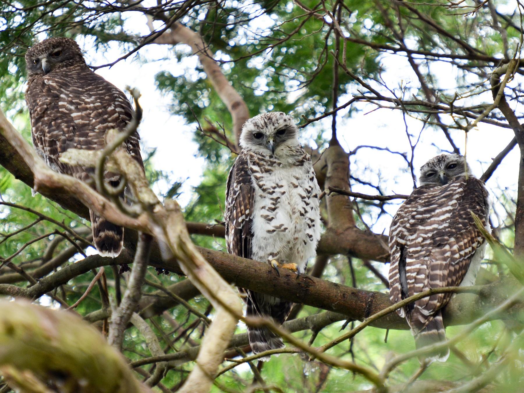 Powerful Owl - Bruce Wedderburn