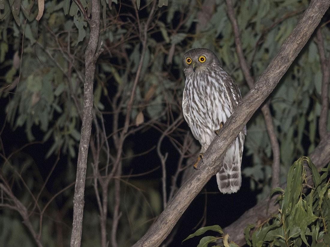 Barking Owl - Tim Bawden