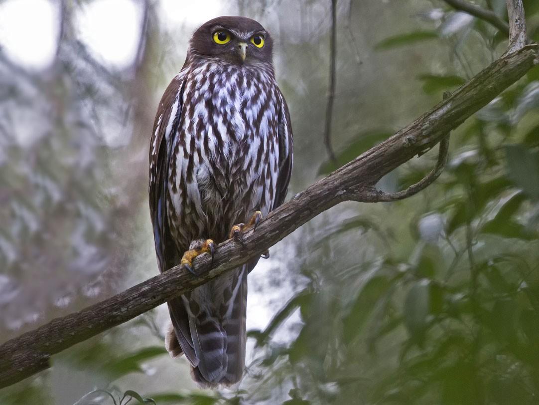 Barking Owl - Mat Gilfedder