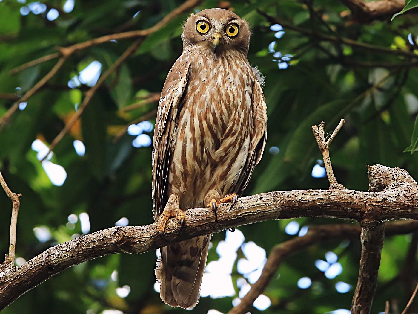 Barking Owl - Tony Ashton