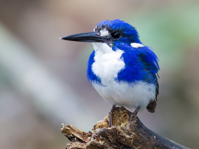 Little Kingfisher - Laurie Ross   Tracks Birding & Photography Tours