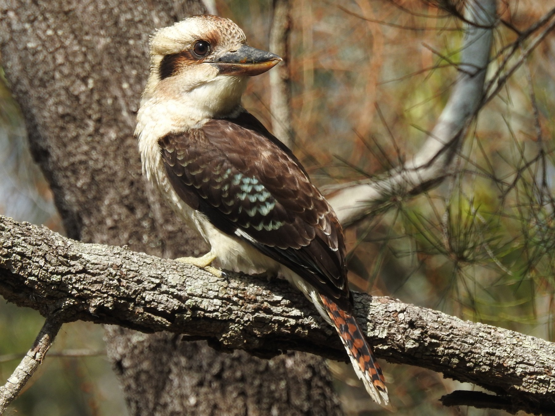Laughing Kookaburra - Michael Daley