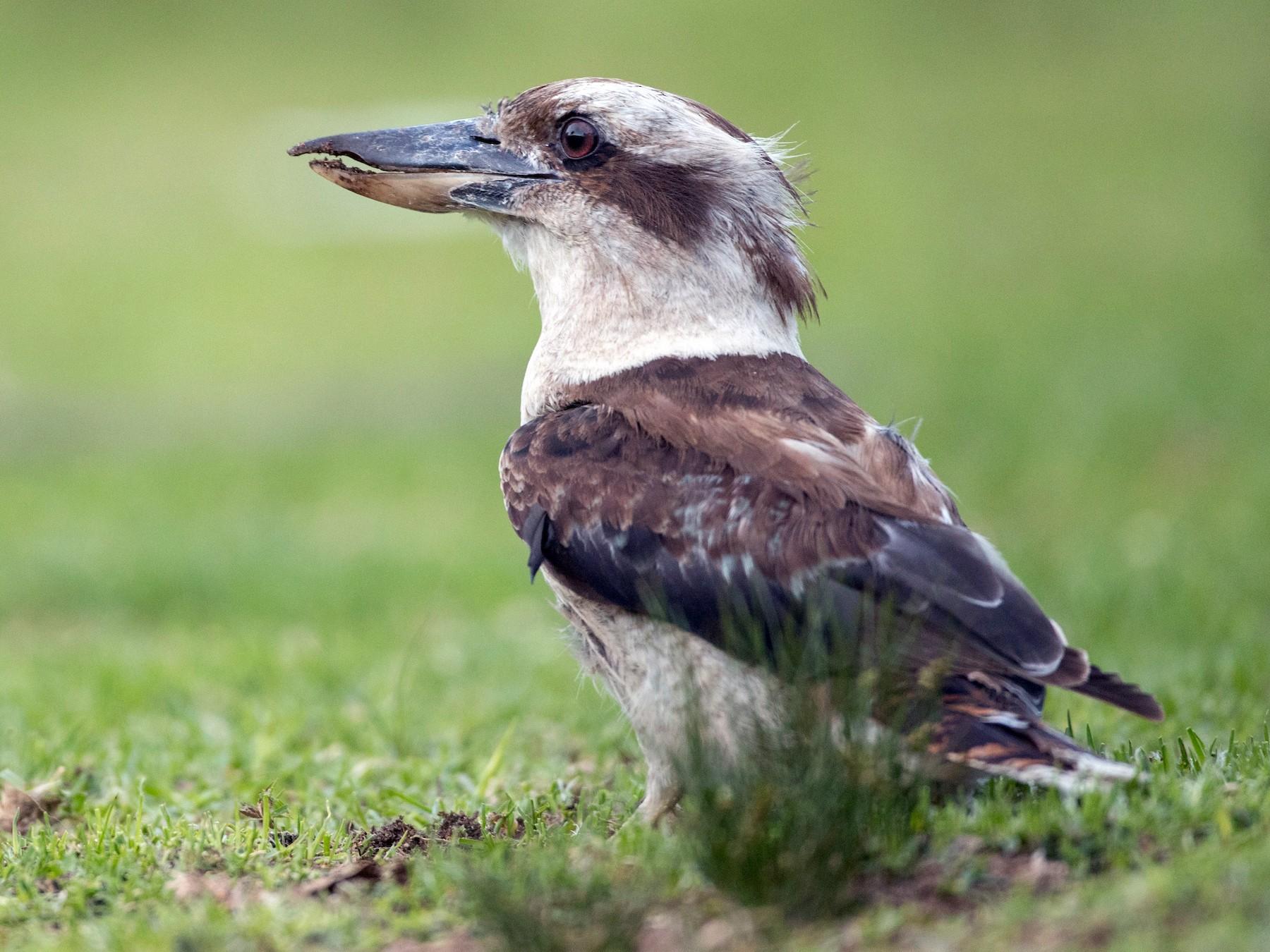Laughing Kookaburra - Ian Davies