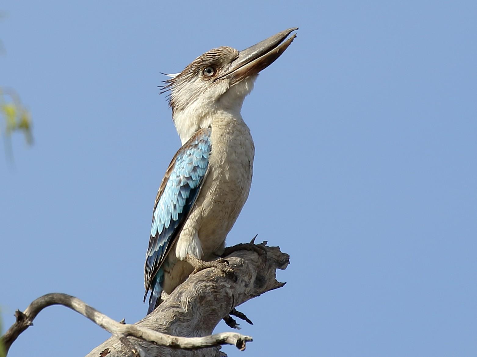 Blue-winged Kookaburra - Michael Rutkowski