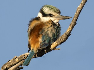 - Red-backed Kingfisher