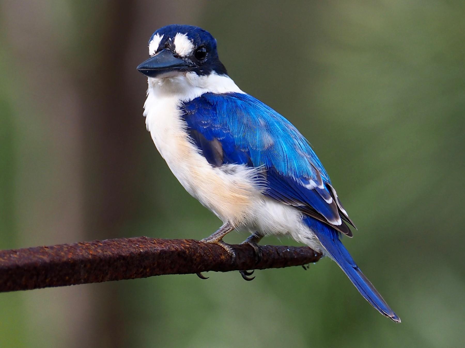 Forest Kingfisher - David Boyle
