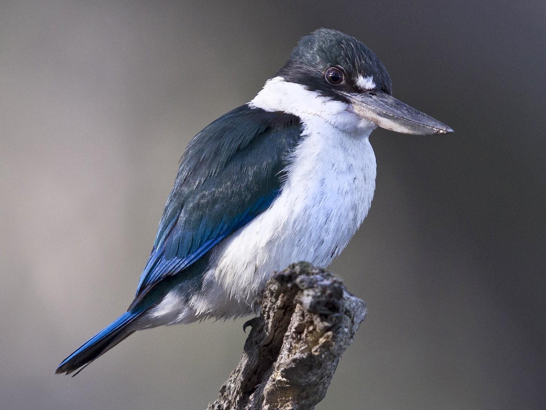 Torresian Kingfisher - Mat Gilfedder