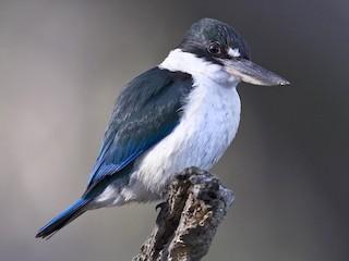 - Torresian Kingfisher