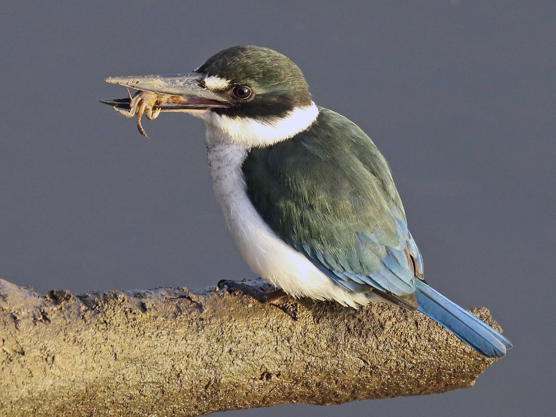 Torresian Kingfisher - Chris Barnes