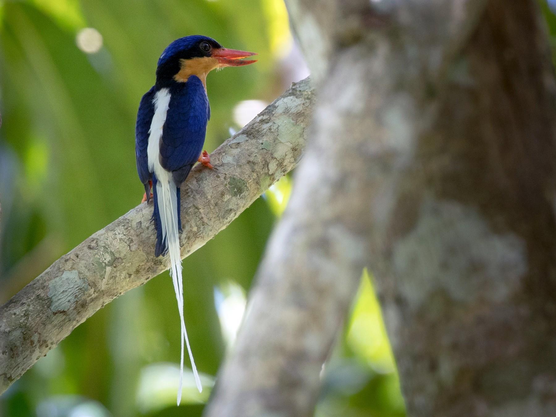 Buff-breasted Paradise-Kingfisher - Ian Davies